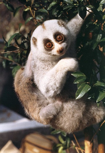 Bengal slow Loris in Tiger Reserves in India