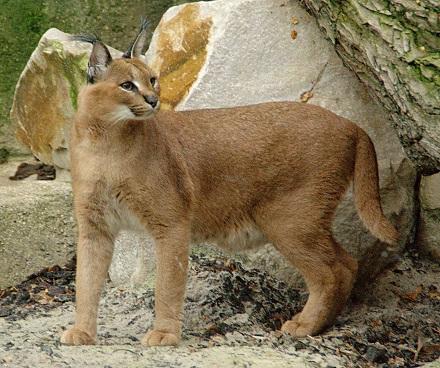 Caracals-wild cat