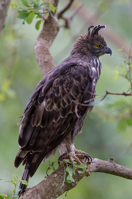 Changeable hawk-eagle