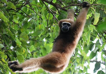 Tiger Reserves in India Hoolock Gibbon