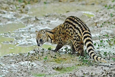 Indian civet Tiger Reserves in India