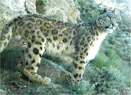 Tiger Reserves in India snow leopard