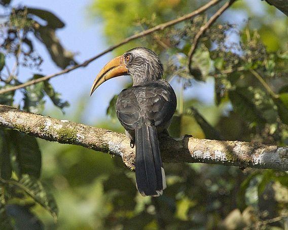 Malabar Grey Hornbill