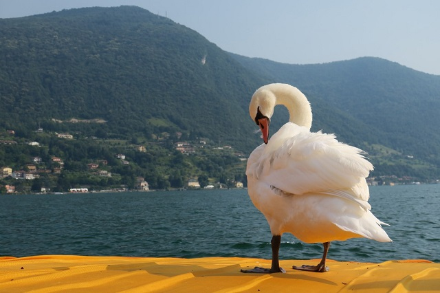 Swan on Floating Pier