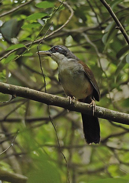 Wayanad laughing thrush
