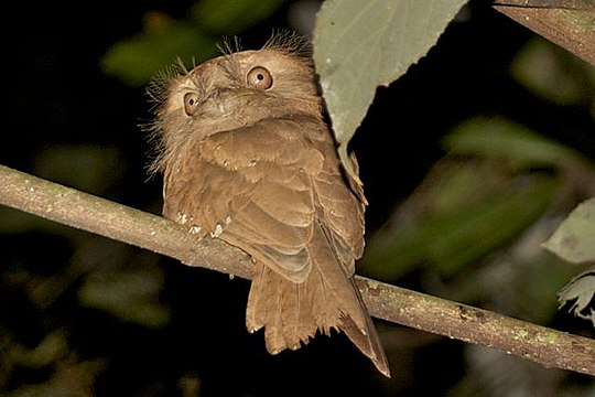 Ceylon Frogmouth