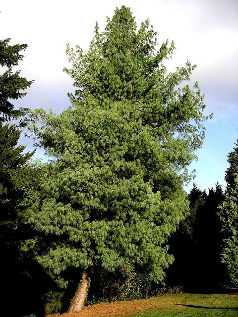 Bhutan Pine