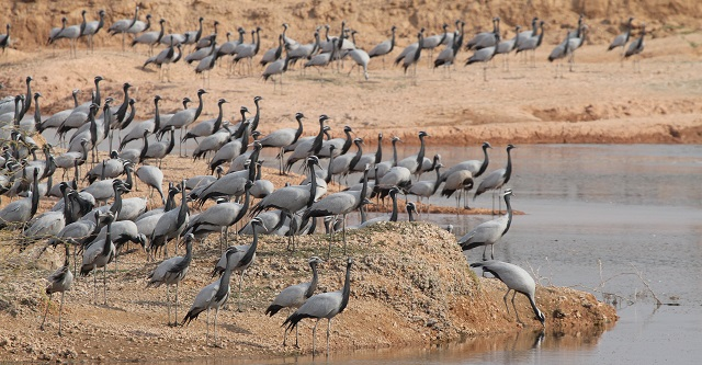 jodhpur best places to visit Khichan bird sanctuary