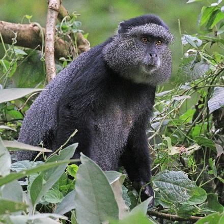 Blue Monkey Trekking, Rwanda