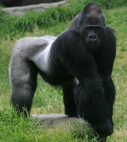 Gorilla Trekking, Rwanda