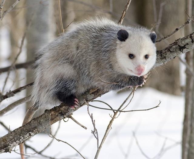 Pantanal Travel Opossum