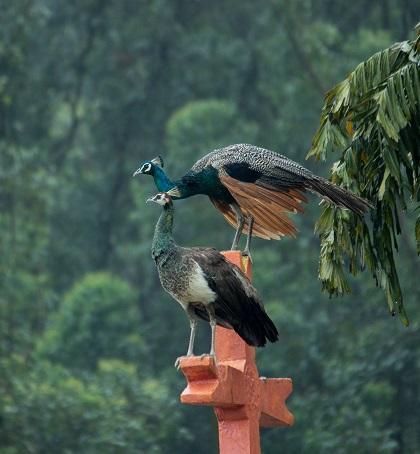 Peacocks in Manjolai
