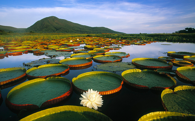 Pantanal Travel Victoria Water Lilies