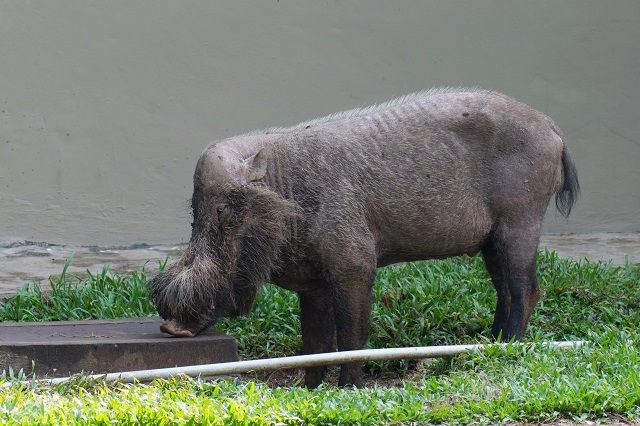 Best Wildlife Vacations Bornean Bearded Pigs