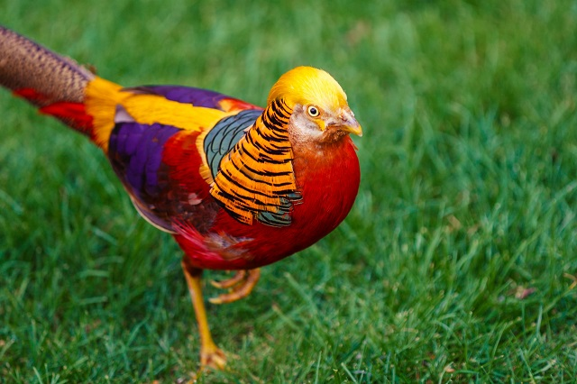 Chinese Pheasant Best Wildlife Vacations