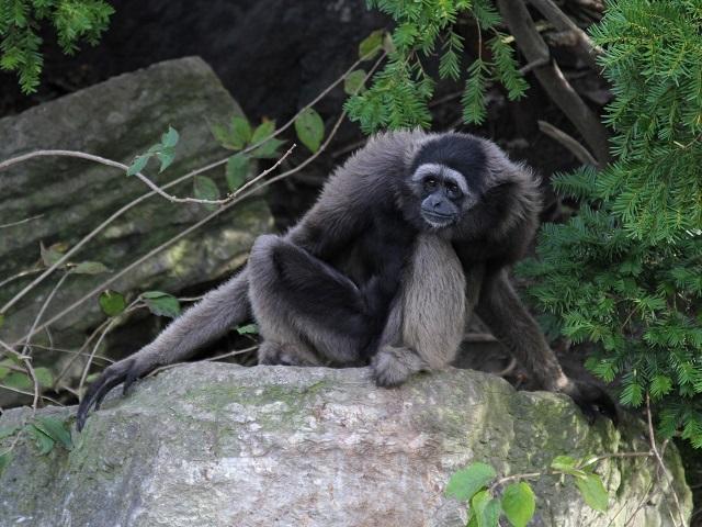 Best Wildlife Vacations Mueller's gibbons