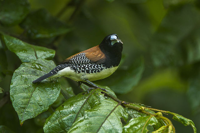 Red-backed Mannikin