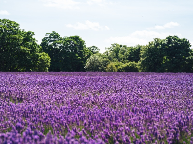 Breathtaking Lavender Farms In The United States View Traveling