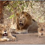 What to See and Where to Stay in Gir Forest?