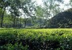 scenic tea estates in Assam