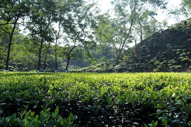 scenic tea estates in Assam