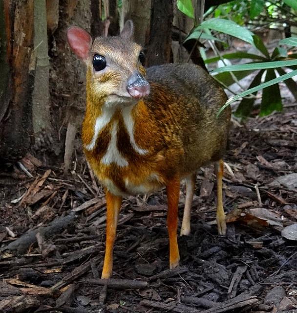 Srivilliputhur Grizzled Squirrel Wildlife Sanctuary Chevrotains