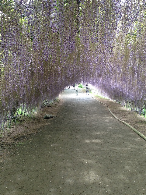 Best Places to Visit in Asia Wisteria Flower Tunnel, Japan