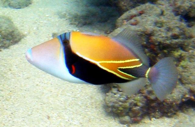 Reef Trigger Fish
