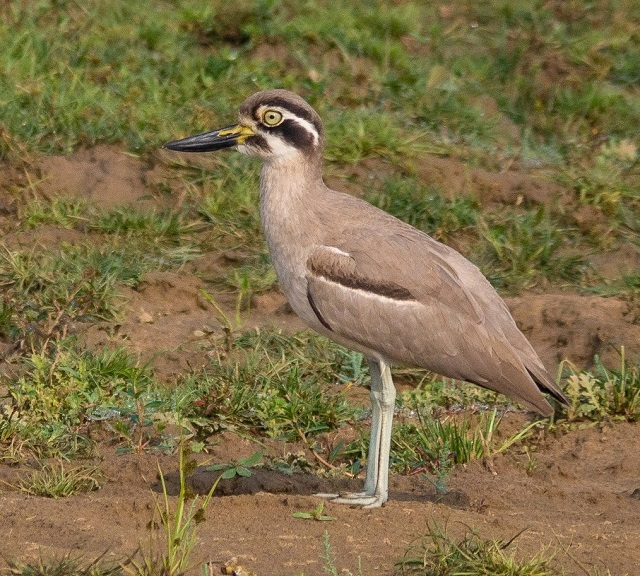 Migratory Birds in India Great Stone Curlew