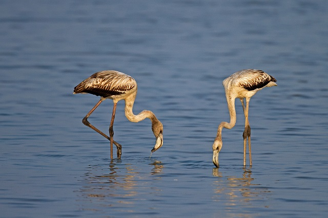 Migratory Birds in India Greater Flamingoes