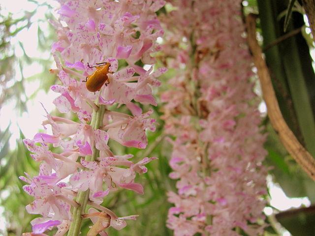 Assam koppu orchid