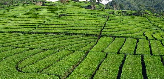 tea gardens of Assam India