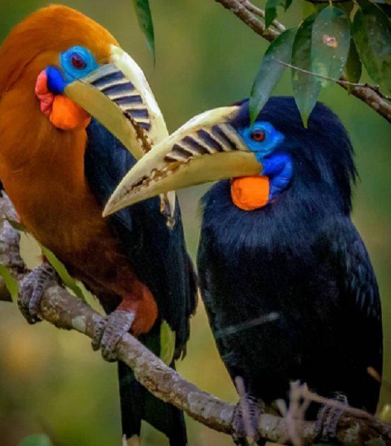Rfus hornbill
