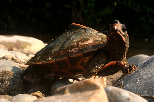 Roofed Turtle
