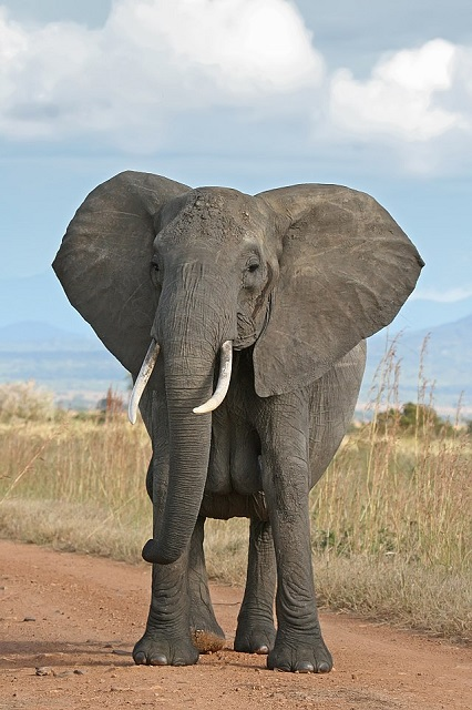 African bush elephant Congo