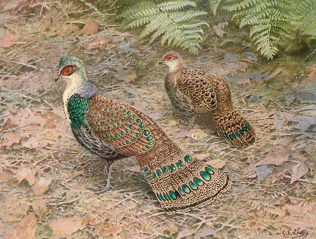 Bornean Peacock-Pheasant