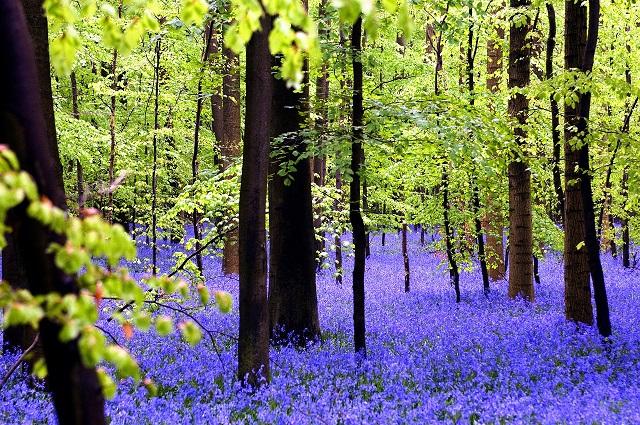 Stunning Spring Blooms Bluebells forest, Belgium