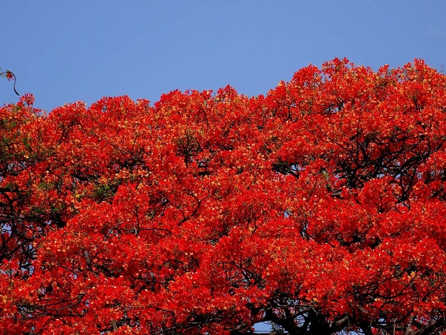 Stunning Spring Blooms Flame of the Forest, Bangalore