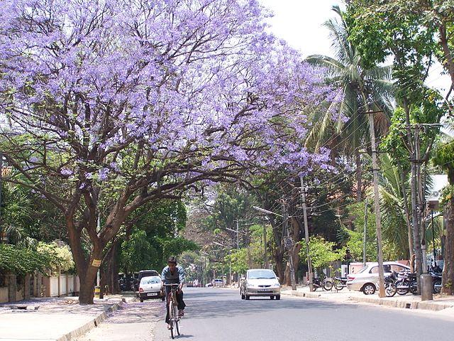 Jacaranda flowers, Bangalore