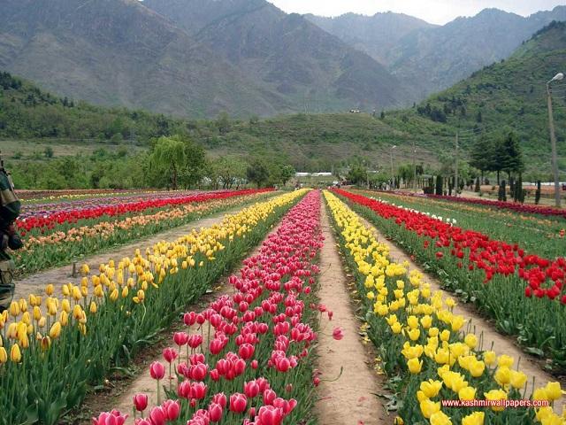 Spring Blooms Tulip Garden