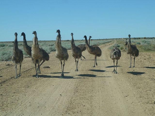 Emu in simpson desert