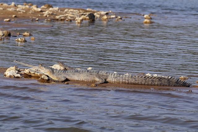 Wildlife Safari India: Gharial